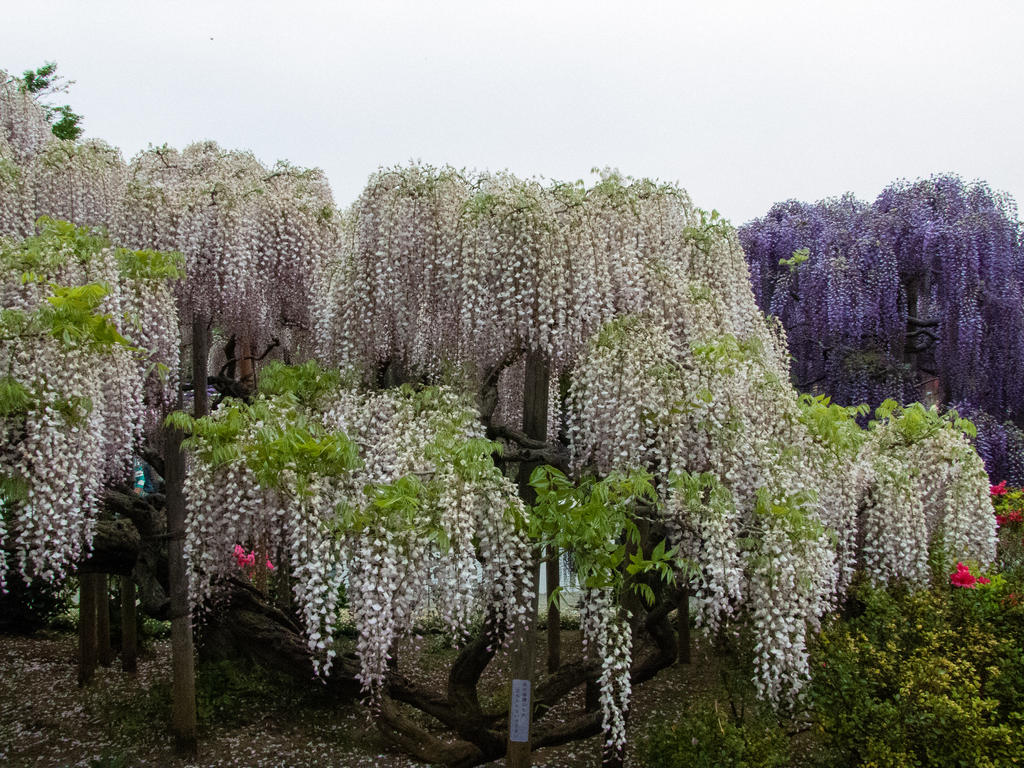 white wisteria by FubukiNoKo