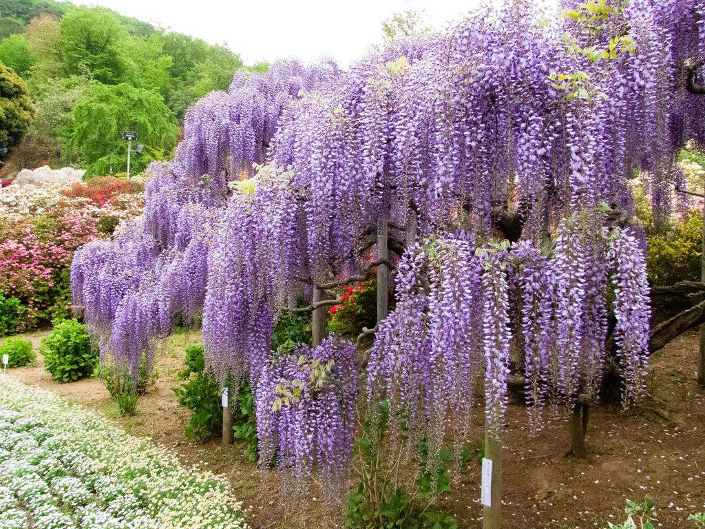 wisteria by FubukiNoKo