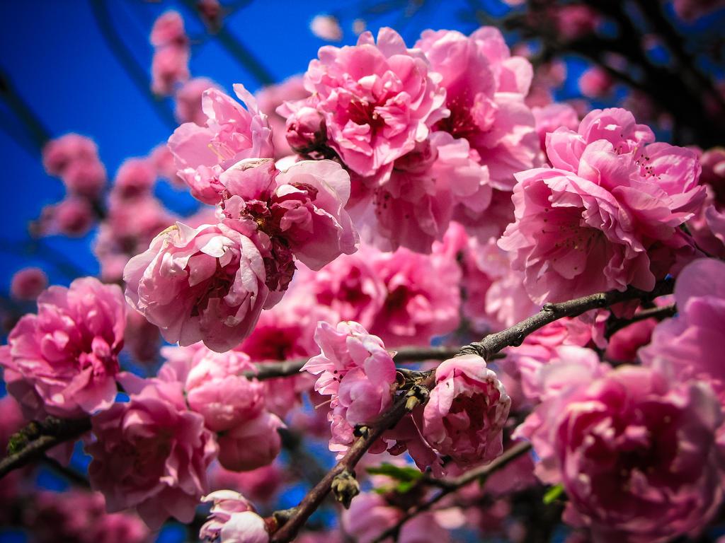 032 sakura by FubukiNoKo