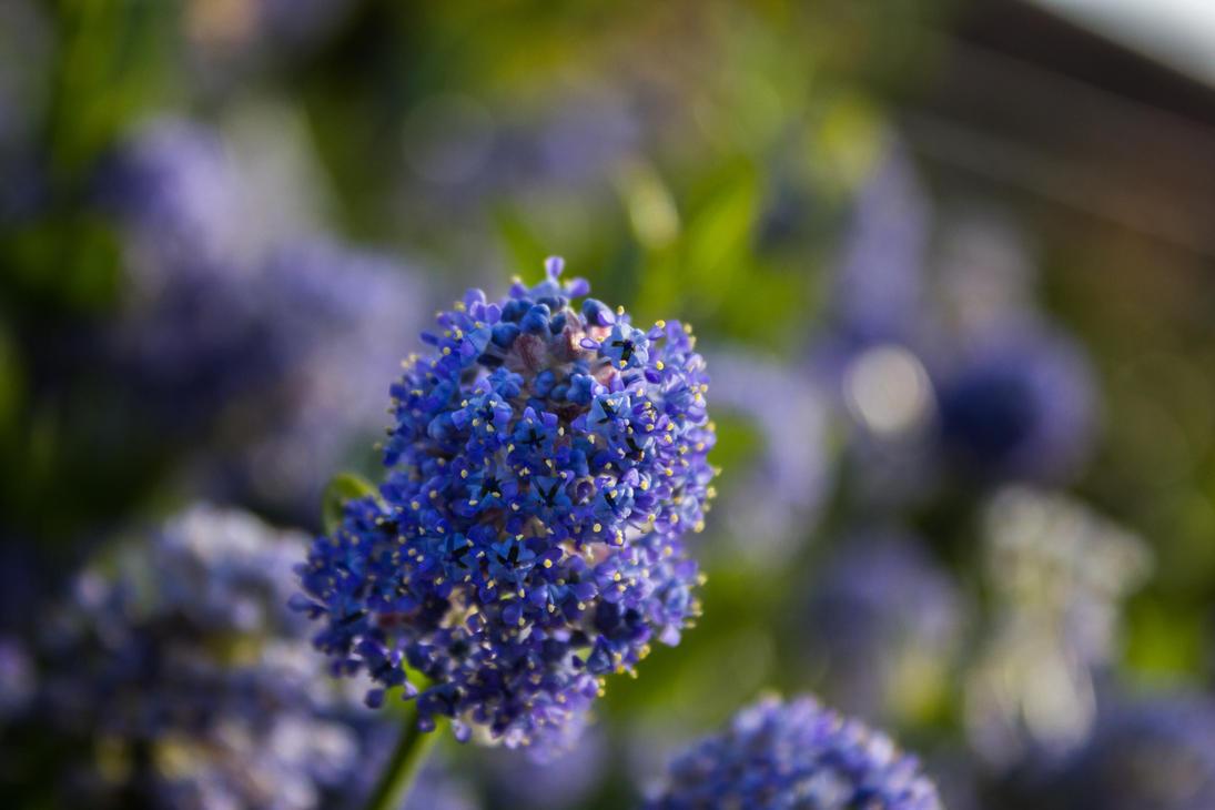 Purple Pures by Samuel-Benjamin