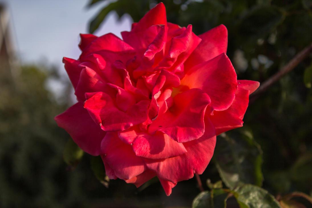 Red Flower by Samuel-Benjamin