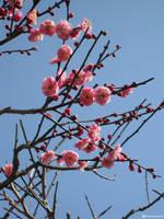 Cherry Blossoms by dandimann46