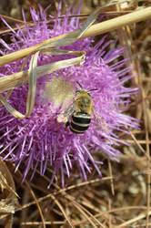 Wild Bee by JohnFestas