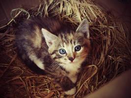 Blue eyed kitty by LotusVeritas