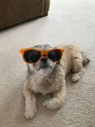 Sunglasses puppy