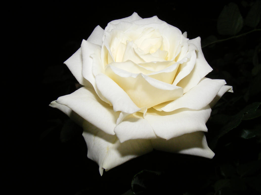 rose with withe - photo #15