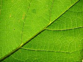 leaf texture by super-chicken-stock