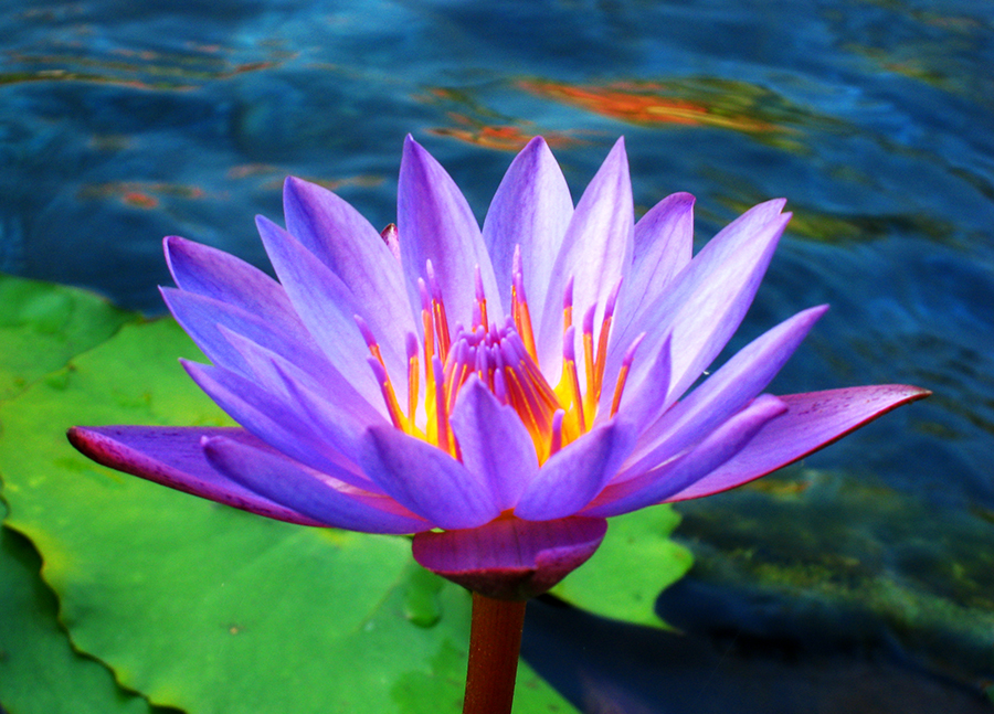 lotus flower by starfire on deviantart, Natural flower
