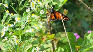 Macro- Monarch Butterfly