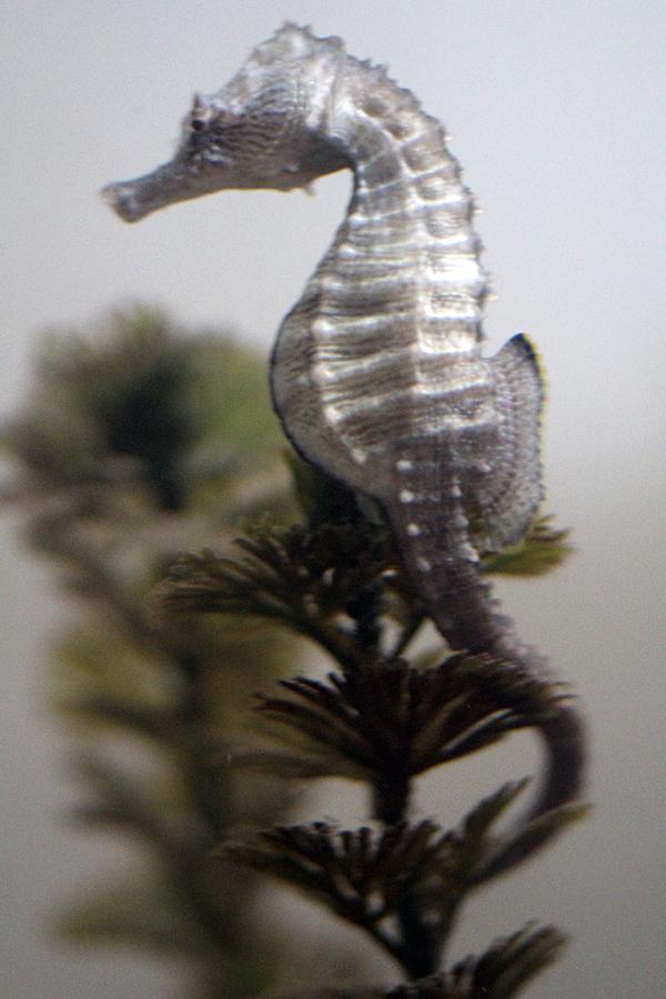 Chesapeake Bay Seahorse by faolruadh