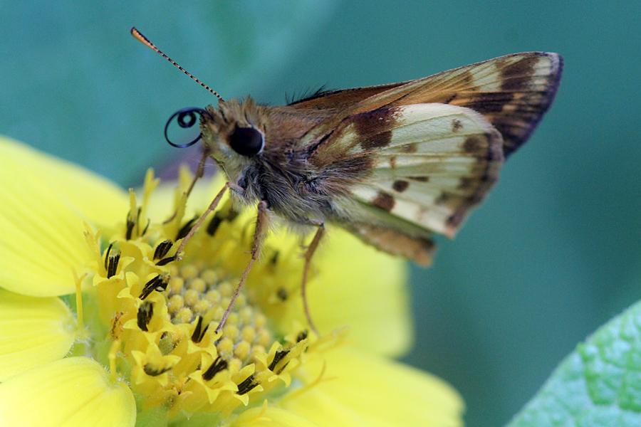 Zabulon Skipper Butterfly by faolruadh