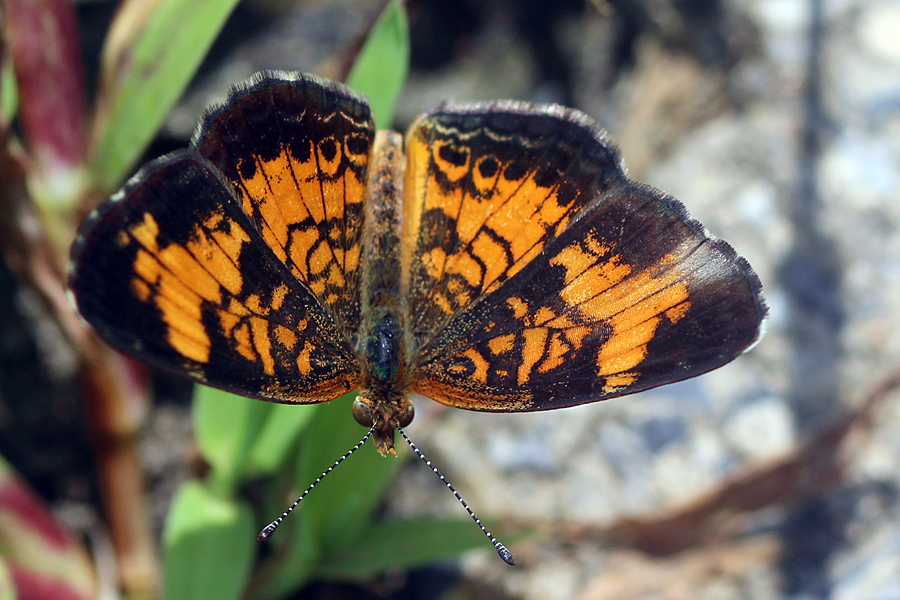 Pearl Crescent Butterfly by faolruadh