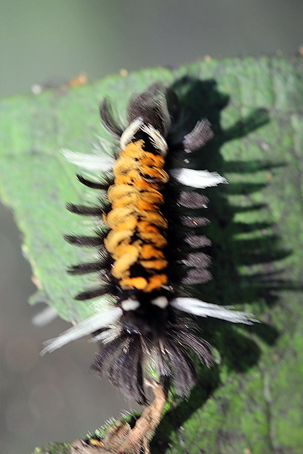 Milkweed Tussock Caterpillar by faolruadh