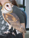 Rippon Lodge Barn Owl by faolruadh