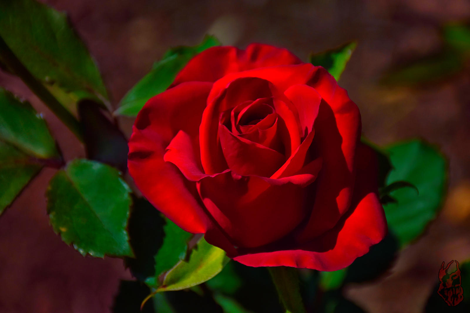 Deep Red Rose by tripl...
