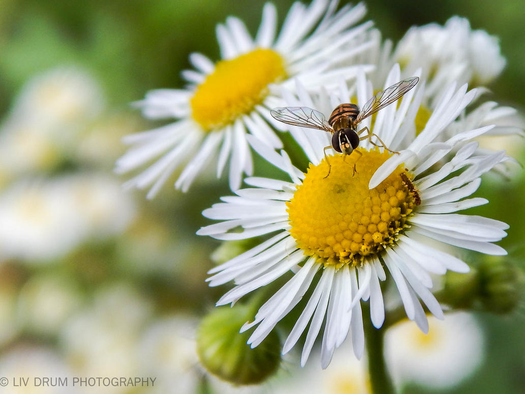 Daisy Bee by livdrummer