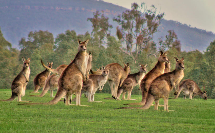 What is a group of baby kangaroos called - Answerscom