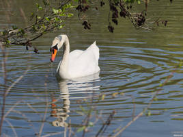 Swan at the Lake by Merkosh