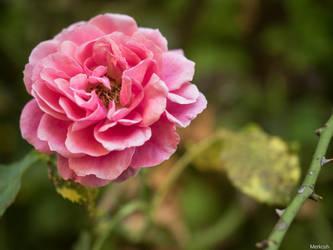 Rote Rose by Merkosh