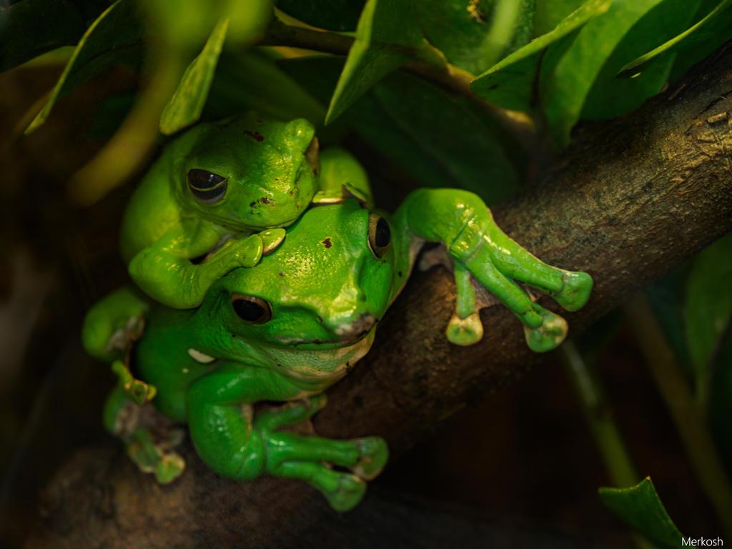 Kiss that frog by Merkosh