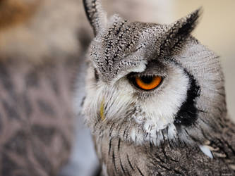 Owl by Merkosh
