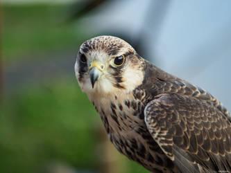 Falcon by Merkosh