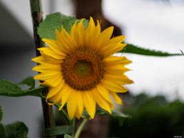 Sunflower by Merkosh