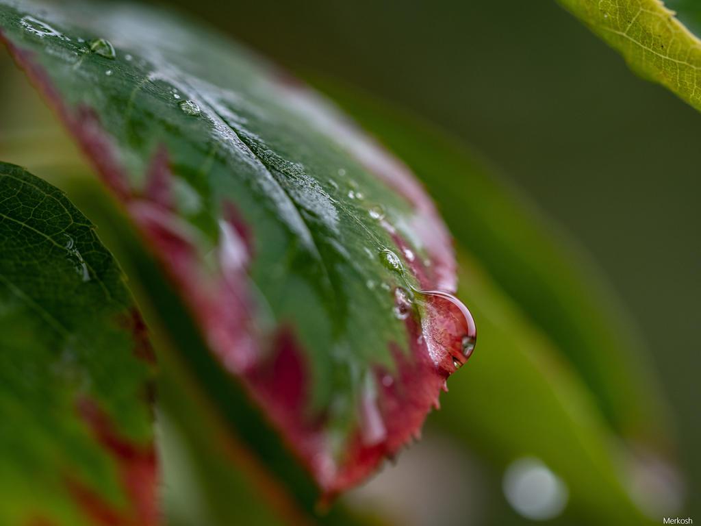 Raindrop on autumn leaves by Merkosh