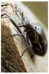 Sandalus niger, maybe? by bellchild