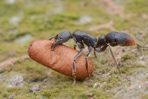 Pseudoneoponera sp. ant (IMG 1677 copy)