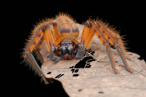 Golden Huntsman Spider (IMG 3839 copy) by orionmystery