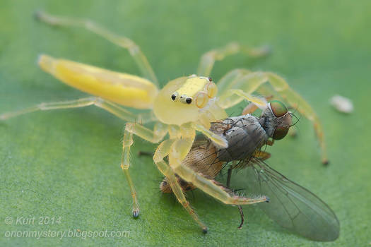 Yellow jumper with prey ( MG 4900 copy)