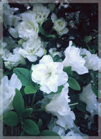 <b>White Japanese Rhododendron</b><br><i>TenebrisTayga</i>