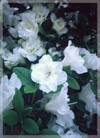<b>White Japanese Rhododendron</b><br><i>TenebrisTayga</i>