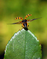Orange Ladybug wings extended by Creative-Addict