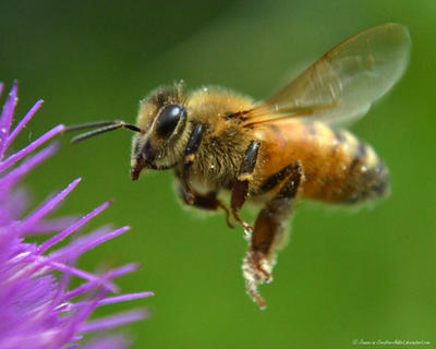 Bee Flying to Spiky Flower by Creative-Addict