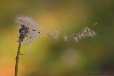Dandelion in the Wind by Creative-Addict