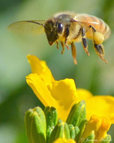 bee hovering around the - photo #7
