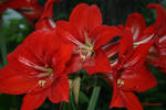 RED: Amaryllis Flowers by CreoleTownhouse