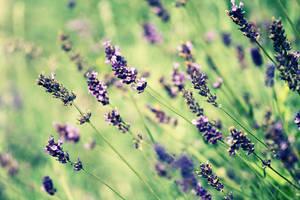 -violet love- by tynaS