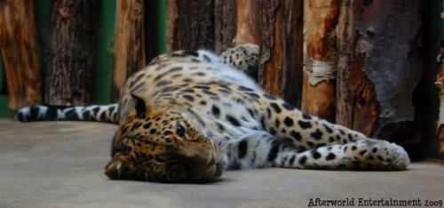 The leopard by Zouberi