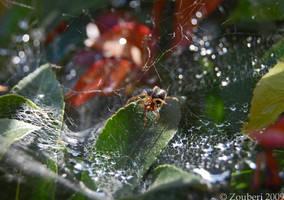 Spider by Zouberi