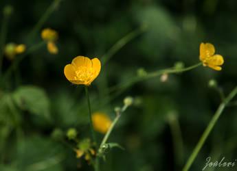 Buttercup by Zouberi