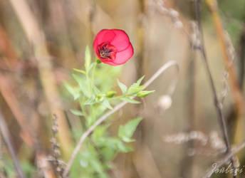 October poppy by Zouberi