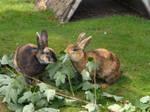Japan Rabbits in Cuxhaven