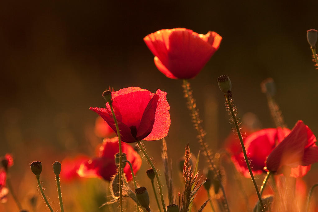 poppy dream by Dtomi84