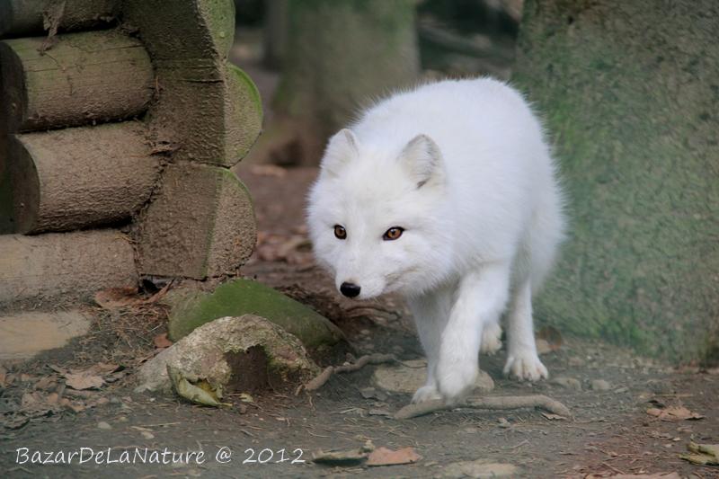 Artic fox by BazarDeLaNature
