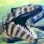 Sibbick Mosasaurus [V.1] by Asuma17