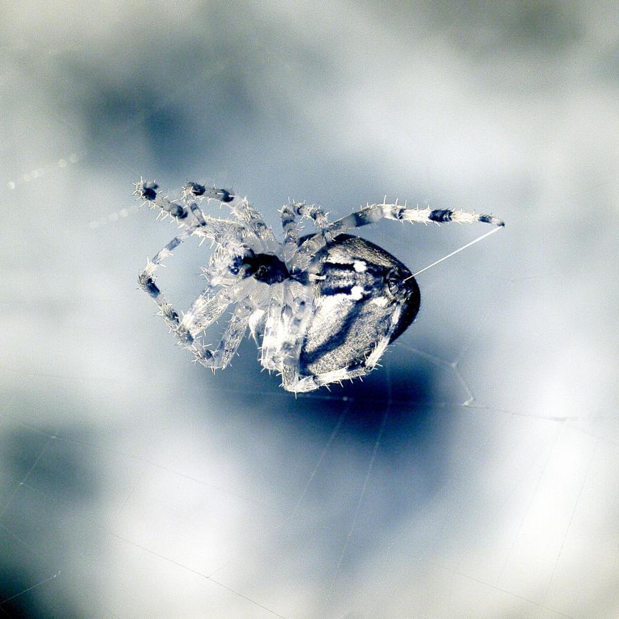 Spiders 8 by Okavanga