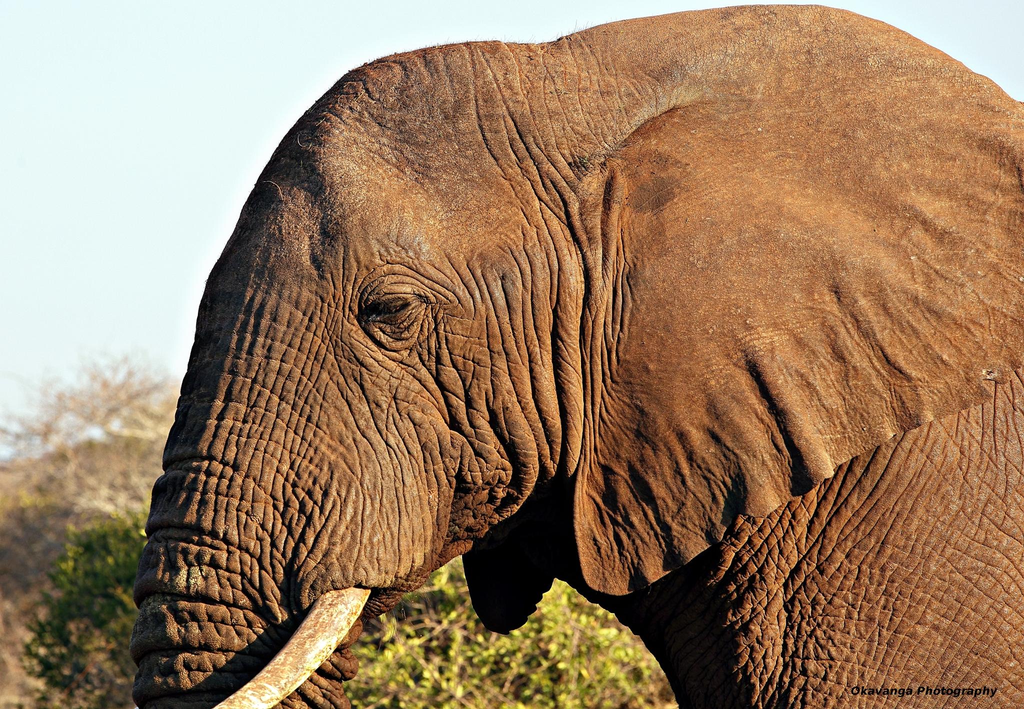 SA Animals - Elephant Close-Up by Okavanga on DeviantArt